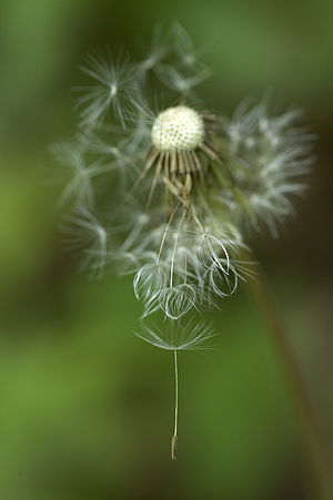 Dandelion gone to seed.