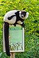 Lemur (24169137468).jpg