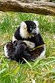 Lemur (26618414637).jpg