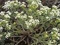 Lepidium papilliferum plant 1.jpg
