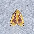 Lepidoptera (28827697240).jpg