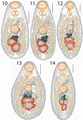 Lepotrema (Lepocreadiidae, Digenea) 11230 2018 9821 Fig10--14.png