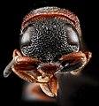 Leptochilus acolhuus, U, face, Florida, Miami-Dade County 2013-02-26-14.33.32 ZS PMax.jpg