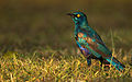 Lesser Blue Eared Starling.jpg