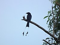 Lesser Racket-tailed Drongo.jpg