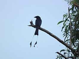 Spateldrongo (Dicrurus remifer)