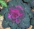 Lettuce (390008184).jpg