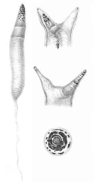 Leucochloridium paradoxum - Image: Leucochloridium paradoxum