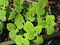 Leucosceptrum stellipium formosanum (17307264656).jpg