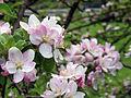 Leutratal-Apfelblüte-0585.jpg