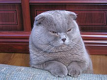 Lilac Scottish Fold.jpg