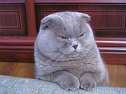 Scottish Fold - The complete information and online sale