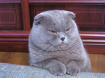 English: A Lilac Scottish Fold cat.