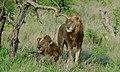 Lion (Panthera leo) (6005222663).jpg