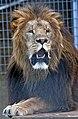 Lion Shot (3684545098).jpg