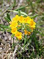 Lithospermum canescens (14257571067).jpg