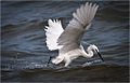 Little egret fishing Like Victoria.jpg