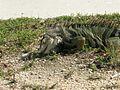 Lizard in Florida 2.jpg