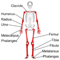 Long bones - anterior view - with legend.png