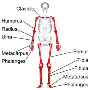 Long bone - Long bones in human skeleton. (shown in red)