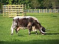 Longhorn cow at Largham - geograph.org.uk - 829252.jpg