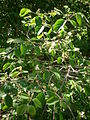 Lonicera xylosteum 2c.JPG