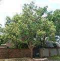 Lophostemon confertus, habitus, Pretoria, a.jpg