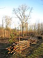 Lower Wood Nature Reserve - recent coppicing - geograph.org.uk - 1614970.jpg