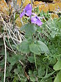 Lunaria annua (1).jpg