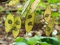 Lunaria rediviva (vaste Judaspenning).JPG
