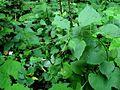 Lunaria rediviva PID1715-2.jpg
