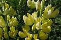 Lupinus arboreus kz13.jpg