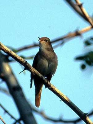 Common nightingale - Male