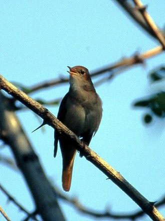 Common nightingale - Male