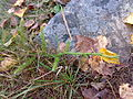 Lycopodium clavatum 06.jpg