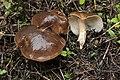 Lyophyllum decastes (30446034047).jpg