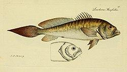 M.E. Blochii ... Systema ichthyologiae iconibus CX illustratum (Plate 25) (6005471799).jpg