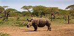 MPA White Rhino.jpg