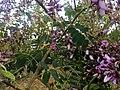 Machaerium amplum - Fabaceae - arbusto escandente espinescente 03.jpg
