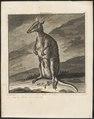 Macropus giganteus - 1700-1880 - Print - Iconographia Zoologica - Special Collections University of Amsterdam - UBA01 IZ20300232.tif