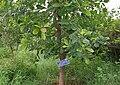 Madhuca indica (Mahua) in Hyderabad, AP W IMG 0065.jpg