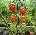 Maduración del tomate (Solanum lycopersicum).jpg