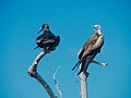 Magnificent Frigatebirds. He and she (7126106531).jpg