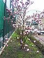 Magnolia listopadnaja.jpg