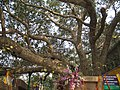 Mahabodhi Temple - The Bodhi Tree.jpg
