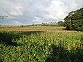 Maize field - geograph.org.uk - 1029567.jpg