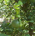 Makrut fruit.jpg