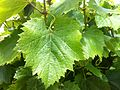 Malbec leaf 2 at Red Willow.jpg