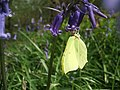 Male Brimstone Butterfly feeding. - geograph.org.uk - 909476.jpg