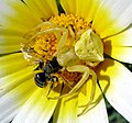 Male Crab Spider Thomisus onustus with Bee - Flickr - gailhampshire.jpg
